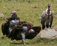 Predator birds are sitting on the ground. Kenya. Tanzania. Royalty Free Stock Images