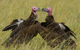 Predator birds are sitting on the ground. Kenya. Tanzania. Stock Photography