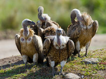 Predator birds are sitting on the ground. Kenya. Tanzania. Royalty Free Stock Image
