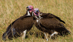 Predator birds are sitting on the ground. Kenya. Tanzania. Royalty Free Stock Photography