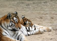 Amur tigers on vacation. Predator of the cat family stock photo