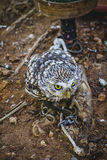 Predator, cute little owl, gray and yellow beak and white feathe Royalty Free Stock Image