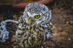 Predator, cute little owl, gray and yellow beak and white feathe Stock Images