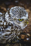 Predator, cute little owl, gray and yellow beak and white feathe Royalty Free Stock Images