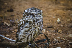 Predator, cute little owl, gray and yellow beak and white feathe Stock Image