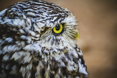 Predator, cute little owl, gray and yellow beak and white feathe Royalty Free Stock Photo