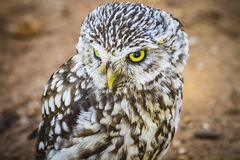 Predator, cute little owl, gray and yellow beak and white feathe Royalty Free Stock Photography