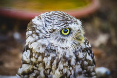 Predator, cute little owl, gray and yellow beak and white feathe Royalty Free Stock Photos