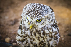 Predator, cute little owl, gray and yellow beak and white feathe Stock Photos