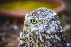 Predator, cute little owl, gray and yellow beak and white feathe Stock Photo