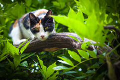 Predator Calico cat hunting posture Royalty Free Stock Images