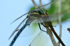 Predator. Dragonfly eats its prey (another dragonfly Stock Photography