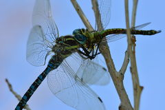 Predator. Dragonfly eats its prey (another dragonfly Stock Image