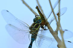 Predator. Dragonfly eats its prey (another dragonfly Stock Photos