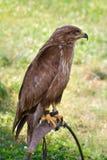 Predator on falconer stand. Portrait predator on falconer stand Royalty Free Stock Image