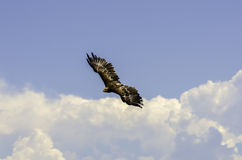 Predator flying. Eagle flying in the sky Stock Images