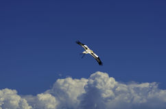 Predator flying. Falcon flying in the sky Royalty Free Stock Photos