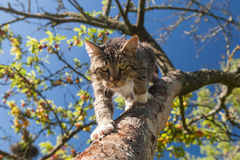 Predator in garden. Cat slink over the tree branch in the garden on the blue sky background Stock Photo