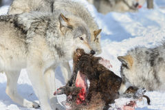 Predator. Gray wolf fighting for food in nature Stock Photos