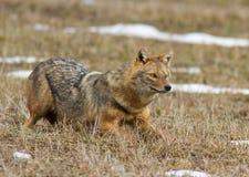 The predator. Hunting an animal Stock Images