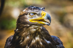Predator, imperial eagle, head detail with beautiful plumage bro Stock Image