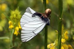 Predator and its prey. Spider and its prey - Black-veined White butterfly Stock Photo