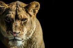 Predator Royalty Free Stock Photography