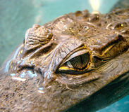 Predator look. Eyes of a cayman in a zoo Stock Images