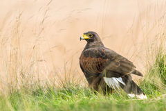 Predator looking for prey. Harris's Hawk aggressive bird sitting on the grass looking for prey Royalty Free Stock Photo