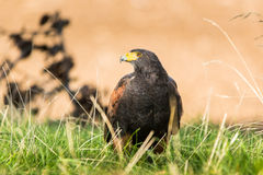 Predator looking sideways. Harris's Hawk aggressive bird sitting on the grass looking for prey Stock Images