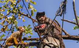 Predator monkey with a quarry and a squirrel monkey chasing it. Monkey park Royalty Free Stock Images