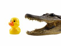 Predator and Prey. Alligator about to eat a small duck, isolated on white Royalty Free Stock Photo