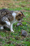 Predator and prey. Cat is catching a field vole (Microtus agrestis Stock Images