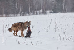 Coyote with pheasant Stock Image