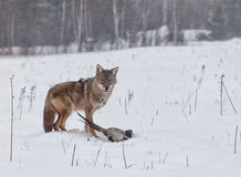 Coyote with pheasant. Predator and prey. A coyote catches a ring necked pheasant. Freezing rain and mist create a soft, mournful winter scene stock photo