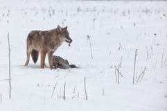Coyote with pheasant Royalty Free Stock Photo