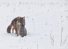 Coyote with pheasant Stock Photos