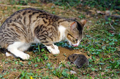 Predator and prey. Hungry cat is catching a tasty field vole (Microtus agrestis Royalty Free Stock Image