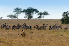 Predator & Prey, Serengeti National Park Royalty Free Stock Photo