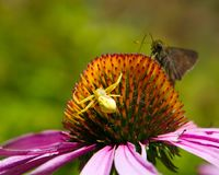 Predator and prey. Unsuspecting moth stalked by a yellow crab spider with murderous intent. The spider is hiding on the bloom of a purple coneflower: Echinacea stock photo