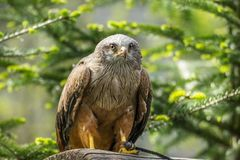 Predator Red Kite stock images