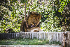 Predator resting male lion lying in the sun Royalty Free Stock Image