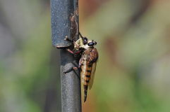 Predator Robber Fly Royalty Free Stock Image