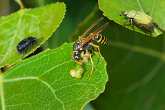 Big wasp eating caterpillar delicatessen. Predator's meal in company of witnesses - big wasp eating caterpillar delicatessen Royalty Free Stock Photos