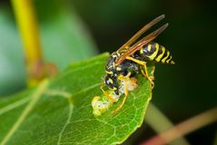 Predator's meal in secluded nook. Big wasp eating caterpillar delicatessen Royalty Free Stock Photography