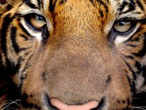 Predator's soul. Tiger's sight. Very cluse up Stock Images