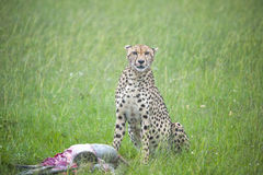 Predator's Stare. A Cheetah stares directly at the viewer while sitting next to its kill Stock Photo