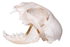 Predator Skull Stock Photo