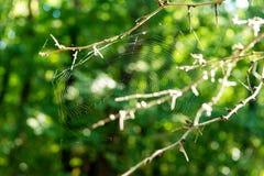 Predator spider wove spider web in anticipation of the victim. Predator spider wove spider web in anticipation of the victim Royalty Free Stock Photography