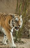Predator: tiger and bamboo tangle. Animal life of Asia Royalty Free Stock Photos